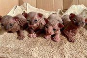 3 Can Sphynx Kitten männlich