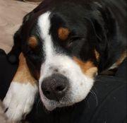 Wurfankündigung GSS Großer Schweizer Sennenhund
