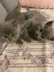 BKH kitten mit Stammbaum Blue