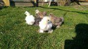 Seidenhühner