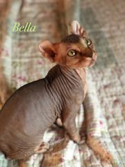 Magic ELF cat Kitten