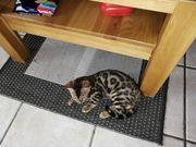 Bengal Kitten Katzenbabys Babykatzen reinrassig