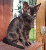 Bengal kitten Melanistic