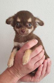 Chihuahua Welpen - zuckersüß SONDERFARBEN