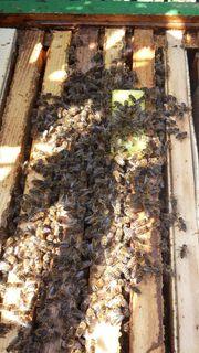 Bienenjungvölker Ableger zu verkaufen Carnica