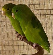 Sperlingspapageien Spengeli Kolumbianer Paar