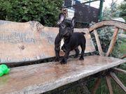 Frazosische Bulldog