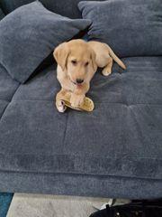 golden retriever labrador welpe Rüde