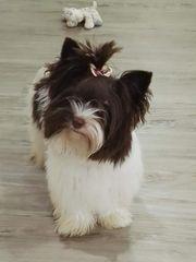 Deckrüde Reinrassiger Yorkshire Terrier Biro -