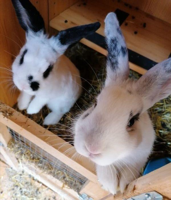 Hasen Kaninchen Babys 3 monate alt Hobby Zucht