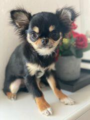 Chihuahua rüde 5 Monate alt