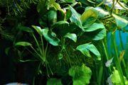 Anubia Wasserpflanze Aquariumpflanze