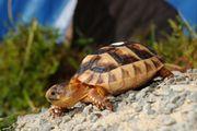 Griechische Breitrand Land Schildkröten Zwergform
