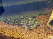 7 große Königstiger-Harnischwelse Hypancistrus spec
