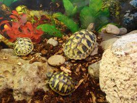 Reptilien, Terraristik - Schildkröten Baby Griechische Landschildkröte Testudo