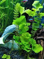 Hydrocotyle leucocephala Brasil Wassernabel Versand