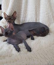 Zwei Kanadische Sphinx Kitten geb