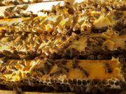 Bienen Zander