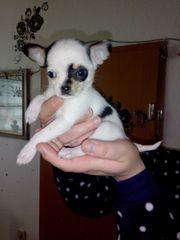 Mini Chihuahua Hündin