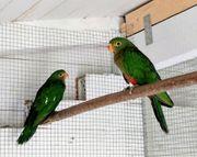 Australische Königssittiche Jungvögel 2020