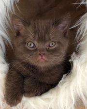 5 bezaubernde BKH-Kitten mit Stammbaum