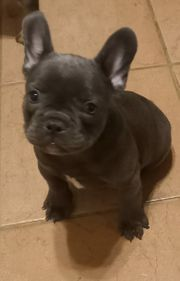 Französische Bulldoggen Welpe Hündin
