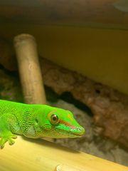 Madagaskar taggecko 0 1 4