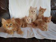 XL Maine Coon Kitten reinrassig