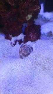 4 Meerwasser Schnecken Babylonia zeylanica