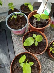 süße Granadilla Passiflora ligularis
