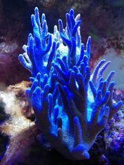 Meerwasseraquarium Lederkoralle
