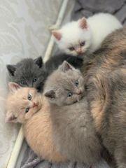 bkh Wurf mai kitten