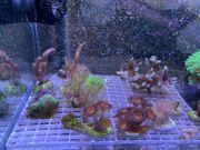 Verschieden Korallen