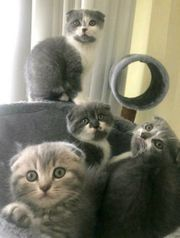 Katzenbabys Scotisch Fold 3 Monate