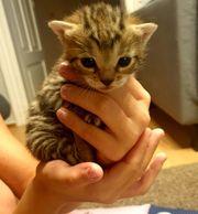 Kitten mix Bengal