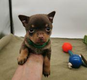Zwergpinscher Chihuahua Welpen
