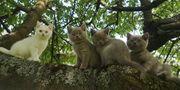 Reinrassige BKH Kitten aus Hobbyzucht
