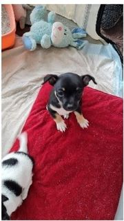 Chihuahua Welpen ab sofort zu