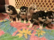 Husky Welpen suchen neues zuhause