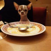Chihuahua Deckrüde kein verkauf keine