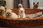 Liebe Katzenfreunde 3 männl BKH-Kitten
