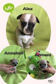 Traumhafte Reinrassige Chihuahua Welpen mit