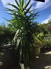 Yuka Palme 260 cm groß