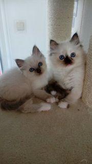 Heilige Birma Kitten Baby Kätzchen