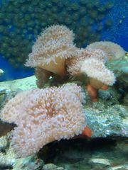 Lebendgestein mit Anemonen bewachsen Meerwasser