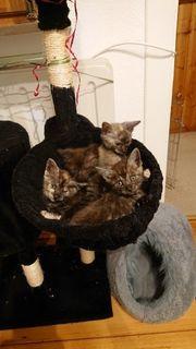 Maine Coon BKH Kitten zu