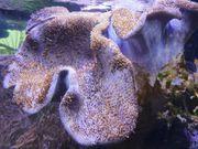 Koralle SPS Ableger Milka