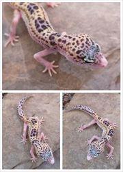 Leopardgecko 0 1 Eclipse het