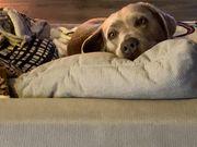 Labrador Deckrüde sucht seine Herzens