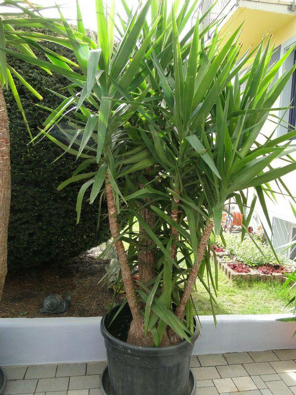 Yucca Palme - für Liebhaber - Hammerpreis -